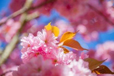 Close up view of beautiful sakura tree blossom backdrop stock vector