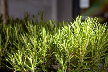 close up view of arranged green rosemary plants