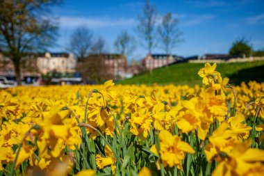 close-up view of beautiful blooming daffodils, green lawn and historical architecture in copenhagen, denmark, selective focus