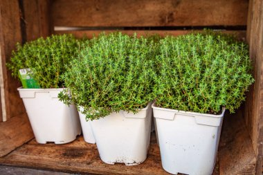 close up view of potted thyme plants with green leaves in wooden box
