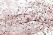 Photo selective focus of beautiful cherry tree blossom