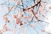 Photo selective focus of beautiful cherry tree blossom and blue sky