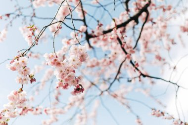 Selective focus of beautiful cherry tree blossom and blue sky stock vector