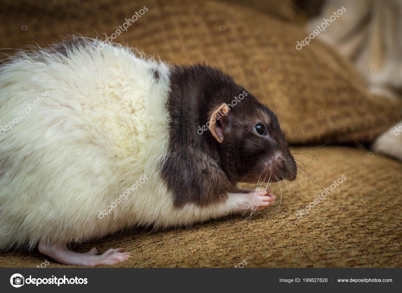 Ausgefallene Agouti Farbigen Kapuzen Haustier Ratte Erforschen Sofa