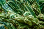 Cereus Hildmannianus zamatos zöld sivatagi kaktusz