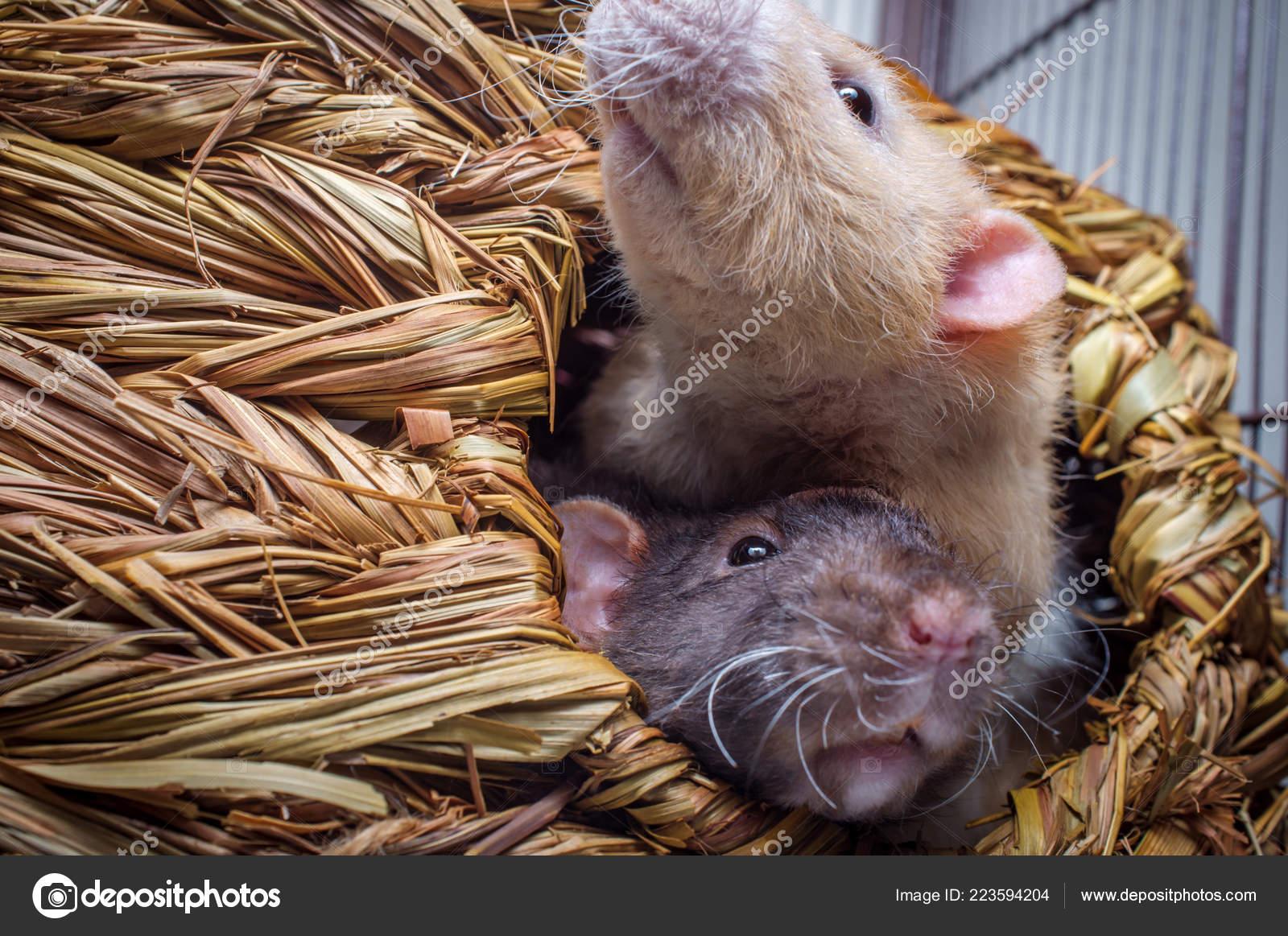 Ausgefallene Agouti Farbigen Kapuzen Haustier Ratte Und Beige
