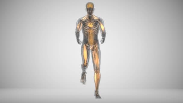 Běžící muž svalové aktivity animace ve stylu x-ray