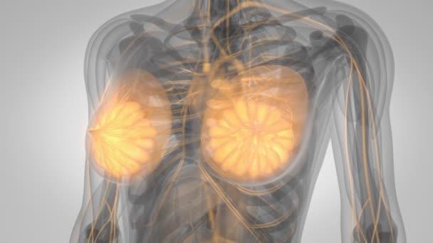 Menschlichen Körpers Brustdrüse Scan — Stockvideo © blender_hope ...