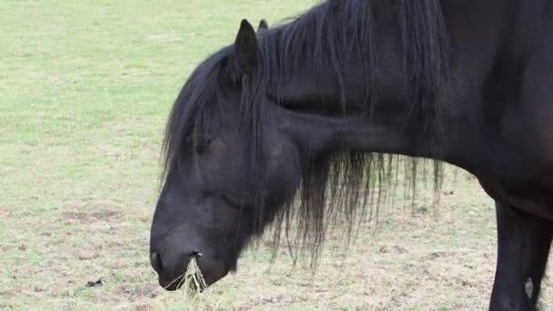 Černý poník jí seno z hromady na zemi.