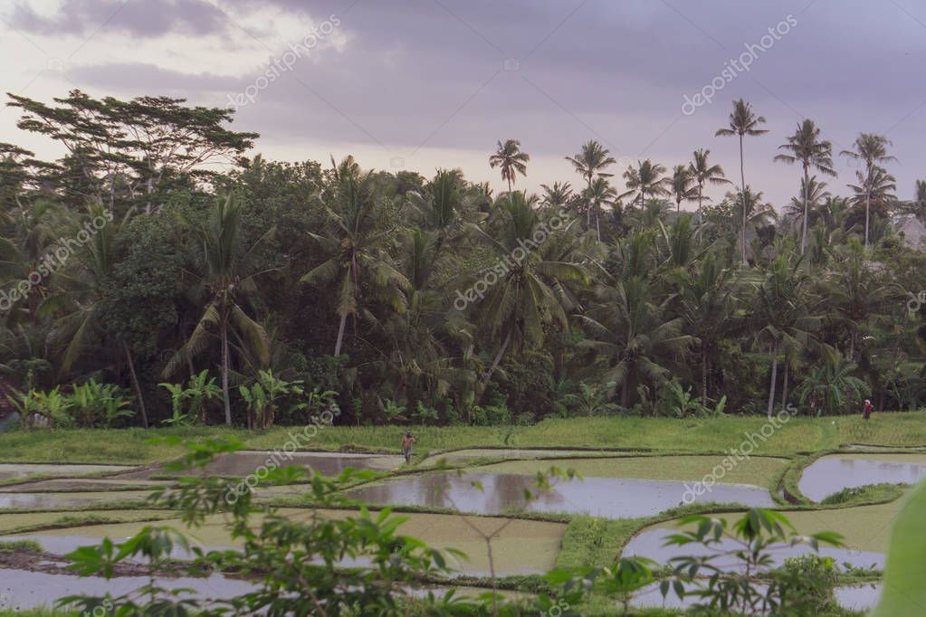INFINITY RICE POOL, UBUD, BALI, INDONESIA - I am always astonished by the beauty of rice paddies, the constant care necessary and the genius designs; utilising gravity and the abundant water.