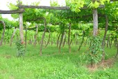 Vineyard using trellis system of grapes hanging from traditional wooden trellis
