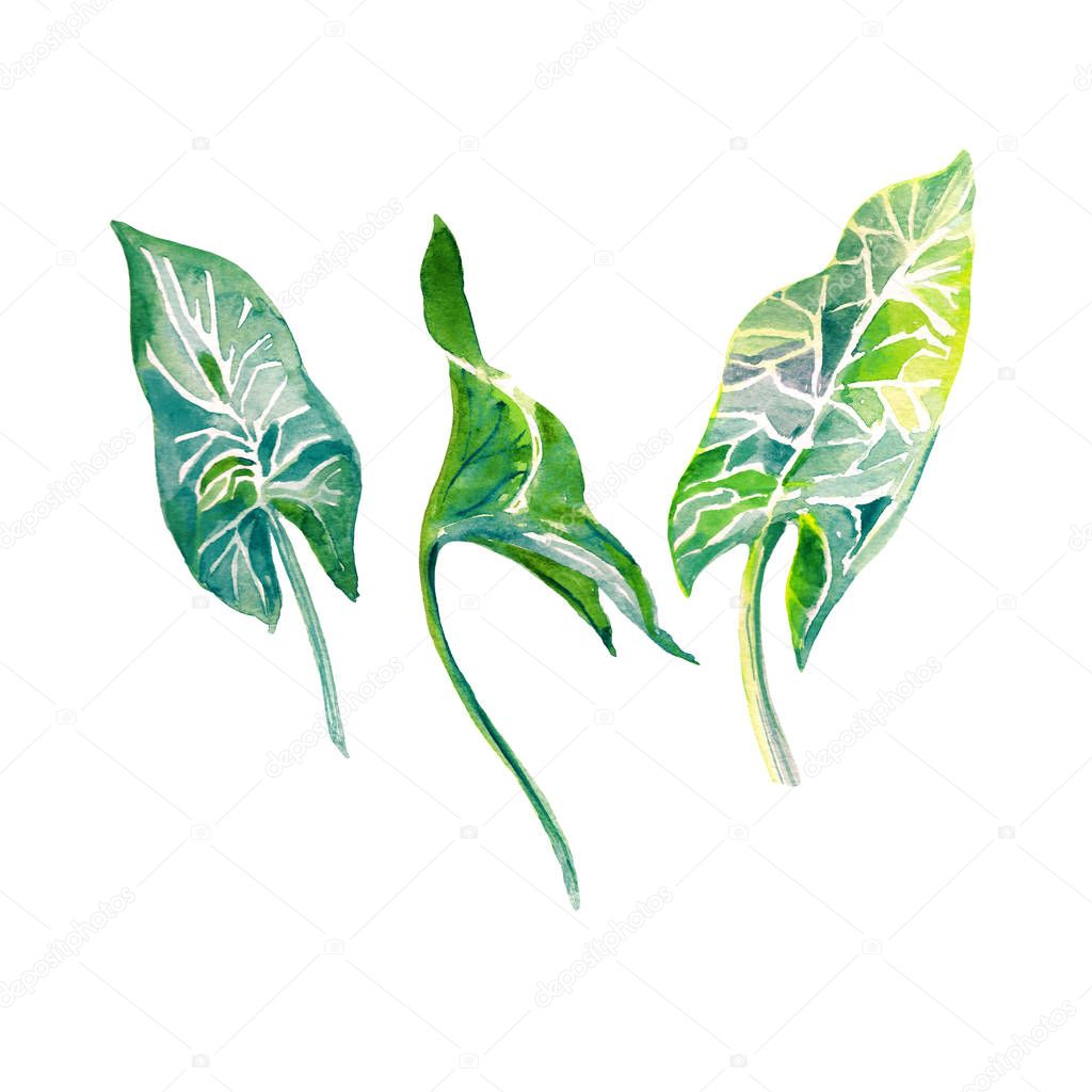 Three fresh shining green tropical hand painted watercolor leaves isolated on white background.