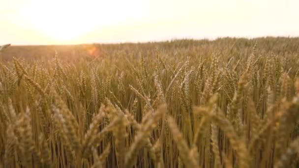 Flying through wheat field slow motion