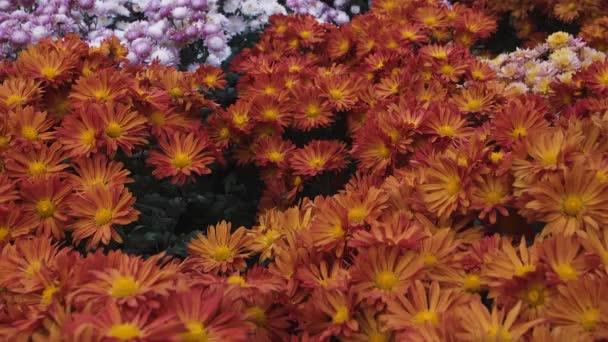 květinové pozadí přechodu barevné chryzantémy s motýly