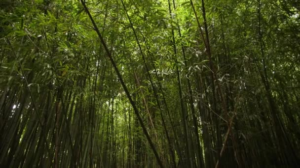 background dense green bamboo grove