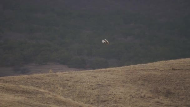 Sivatagi sas repülés egy ponton át a dombon ragadozó vadászat gyönyörű természet lövés