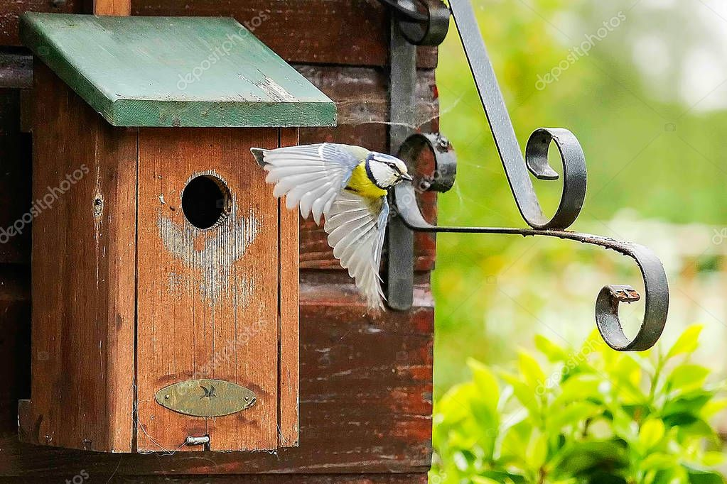 A great tit flies from the nest box in search of food for the young birds