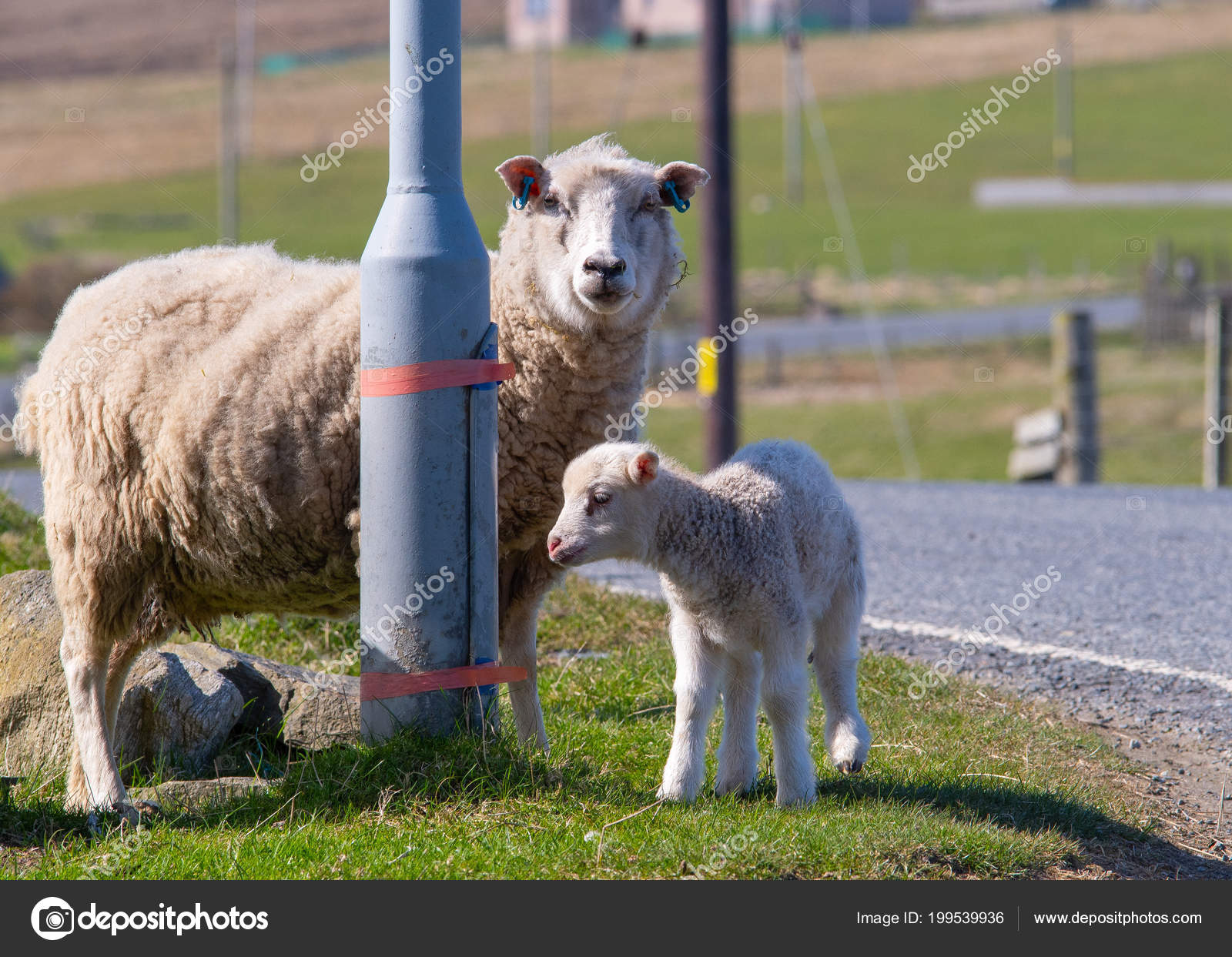 Egy Felnőtt Birka Bárány Baba Mellé Egy Lámpaoszlop Szélén — Stock ... 65101fd07a