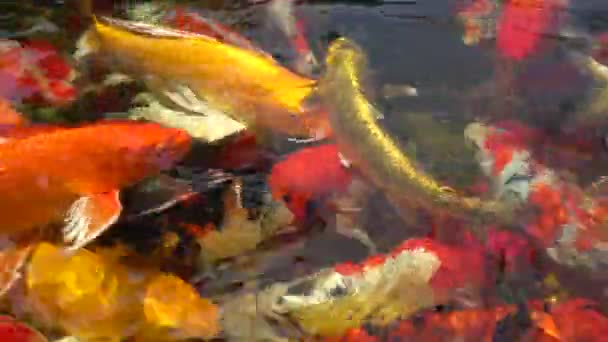 Group of Koi fish in the pond