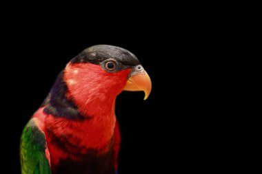 Image of parrot on black background. Birds. Wild Animals.