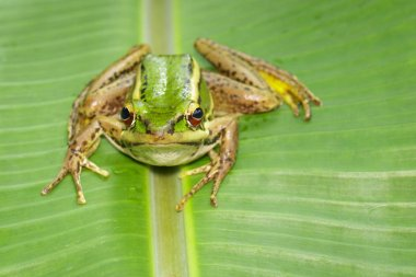 Image of paddy field green frog or Green Paddy Frog (Rana erythr