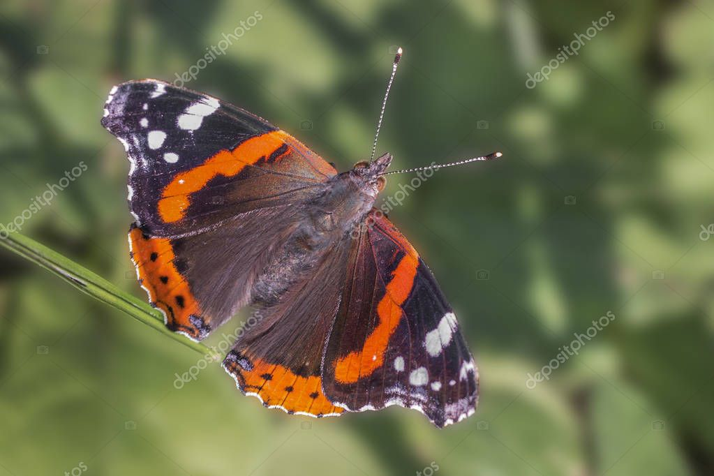 Close up of Red Admiral butterfly (Vanessa atalanta) with open wings. Dorsal view. Blurred foliage background