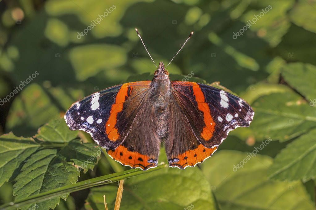 Close up of Red Admiral butterfly (Vanessa atalanta) with open wings in the forest. Dorsal view