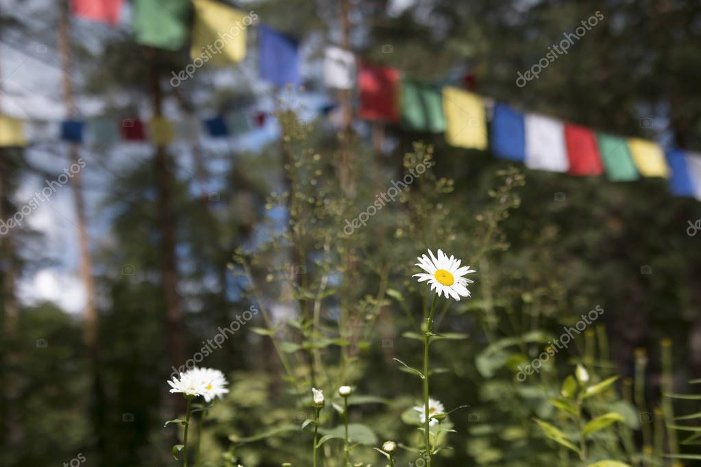 Chamomiles in a pine forest and Colorful prayer flags in the background