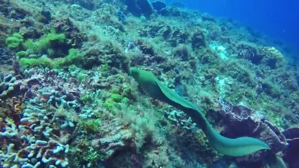Moray underwater wild life