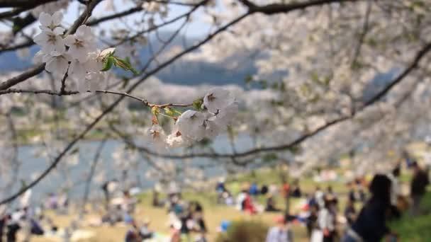 Piknik a cseresznyevirág fák