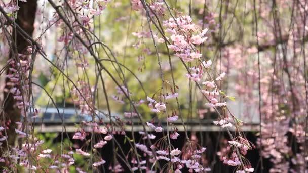 Třešňové květy Kakunodate Japonsko