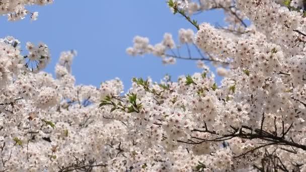 cseresznyevirág-japán Kakunodate