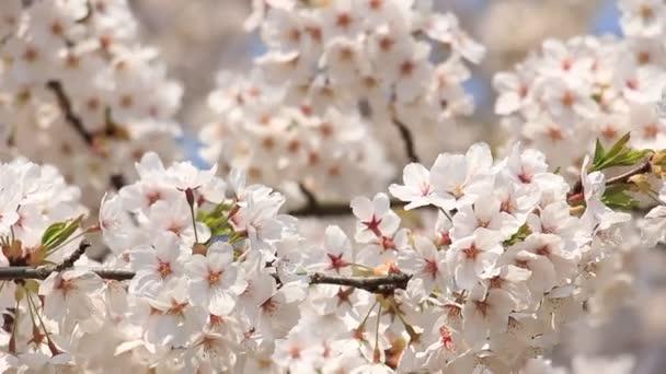 třešňový květ Kakunodate Japonsko