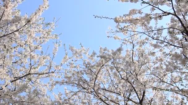cherry blossom Kakunodate Japan