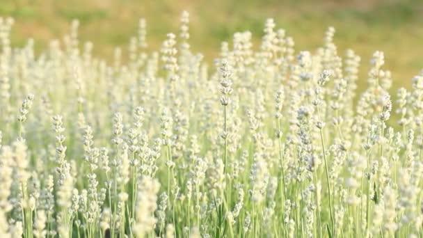 Sluneční světlo bílá levandulová farma