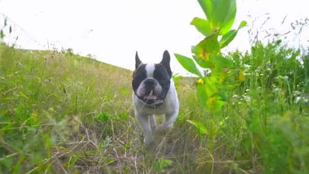bulldog is running in the countryside.