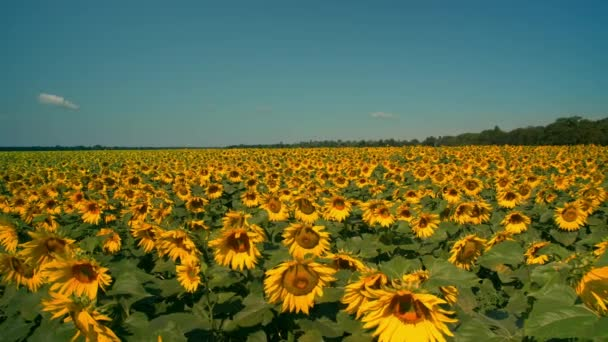 amazing view of the sunflower field