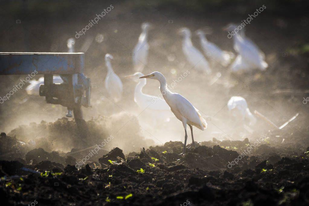 La fotografa muestra como las garcetas se avalanzan sobre los aperos del tractor durante la labranza para poder comer los insectos que salen de la tierra