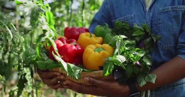 Crop view of african american person holding basket of colourful bell pepers and greenery while walking in greenhouse. Concept of farming and harvest.