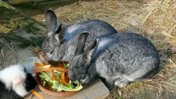 rabbit and guinea pig eating together