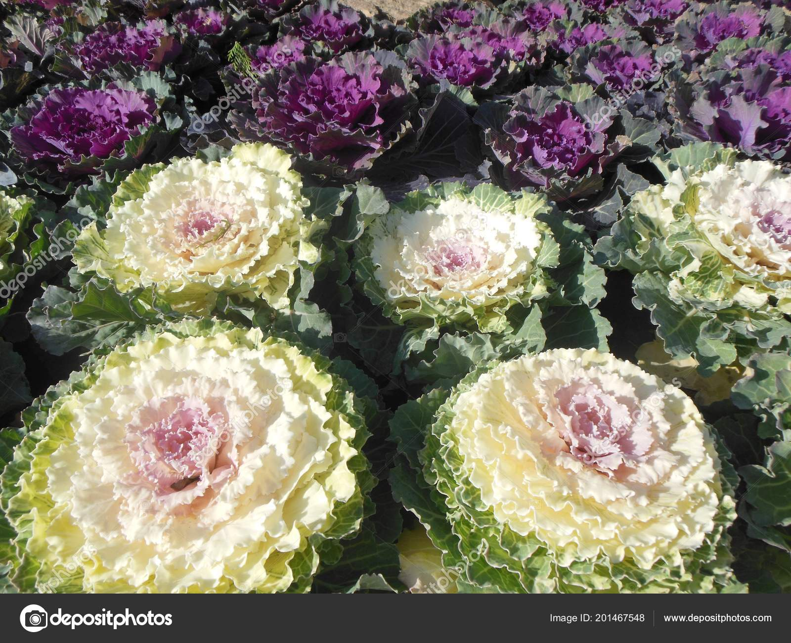 Flowering Kale Ornamental Cabbages White Purple Rosettes Brightly