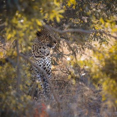 Leopard in Yala National park, Sri Lanka ; Specie Panthera pardus family of Felidae