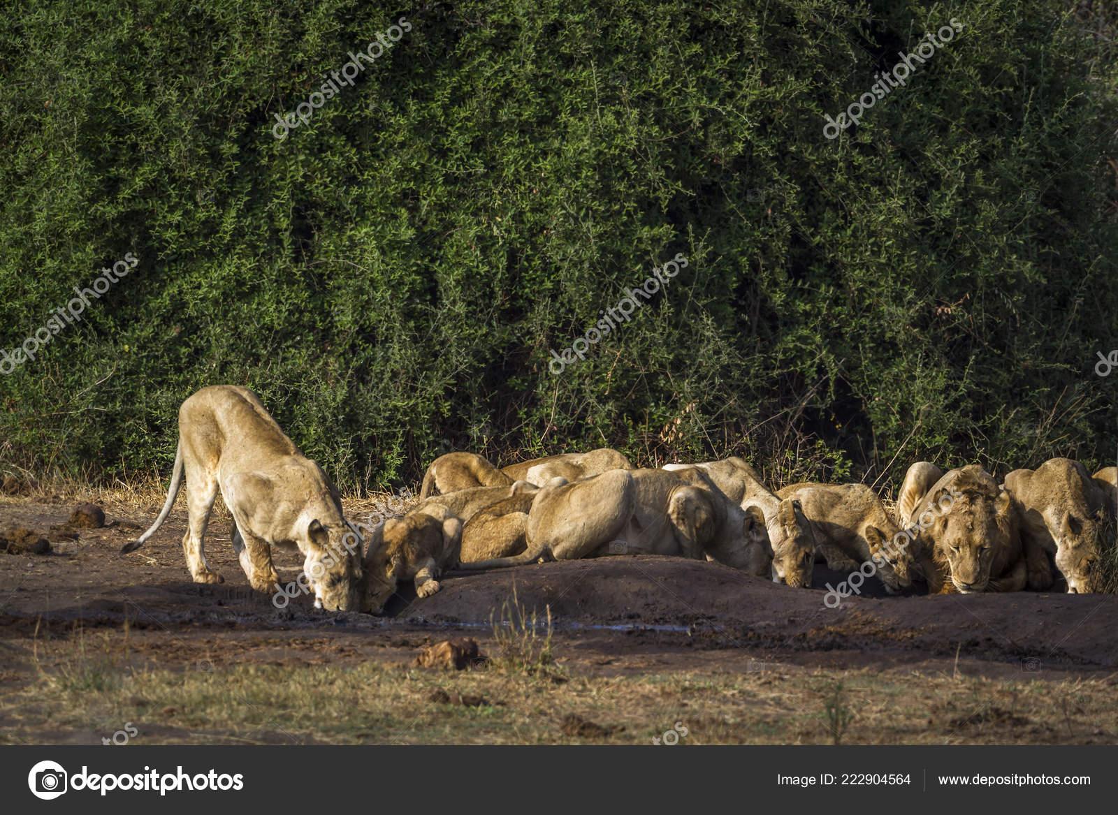 Секс львов в африканской саванне