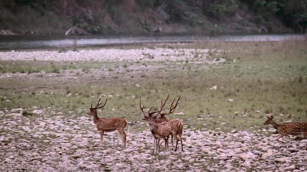 Skvrnitý jelen v národním parku Bardií, Nepál - specie programovaného osy rodiny Cervidae