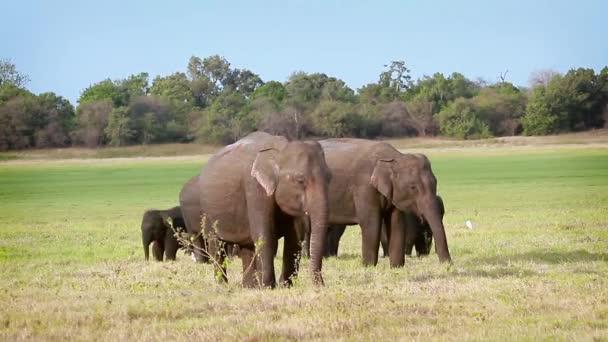Asijské sloní stádo jíst v Minnerya národním parku, Srí Lanka - specie rodina Slonovití