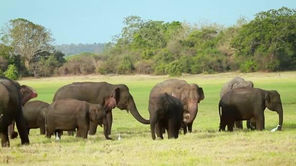 Ázsiai elefánt csorda eszik az Minnerya nemzeti park, Sri Lanka - specie család Elefántfélék (Elephantidae)