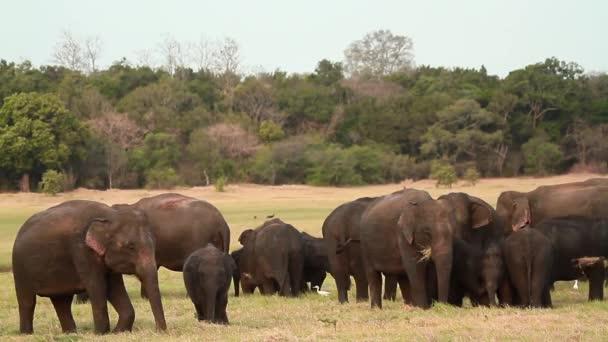 Asian Elephant in Minnerya national park, Sri Lanka - specie family Elephas maximus of Elephantidae