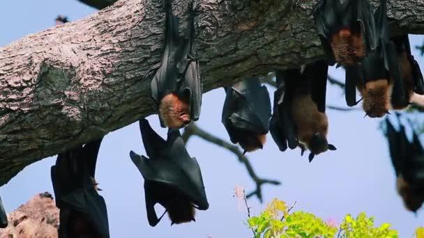 Indische Flughund in Yala-Nationalpark, Sri Lanka - Spezies Pteropus Giganteus Familie von Pteropodidae