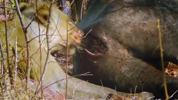 Lvice jíst buffalo v Krugerův národní park, Jihoafrická republika; Specie Panthera leo rodina savec