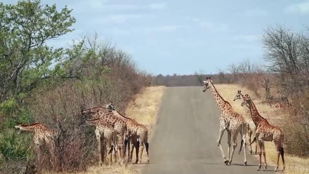 Állomány a zsiráf séta safari road-Kruger Nemzeti park, Dél-afrikai Köztársaság; Specie Giraffa zsiráf család Giraffidae
